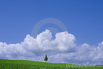 Green field and lonely tree