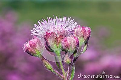 Green field of purple flowers lilac