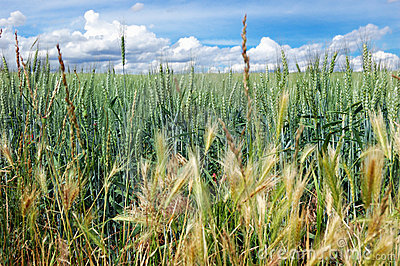 Green field of wheat with cloudy blue sky