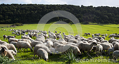 Green fields and sheeps