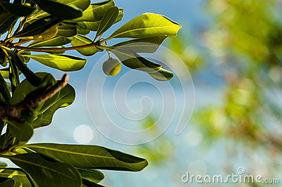 Green fig on a tree