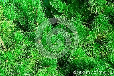 Green fir-needle