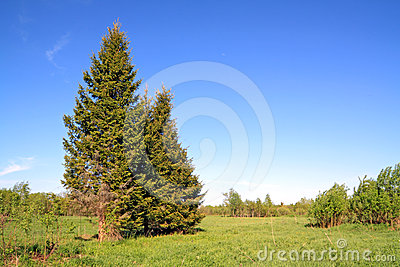 Green fir tree