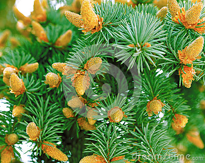 Green fir-tree
