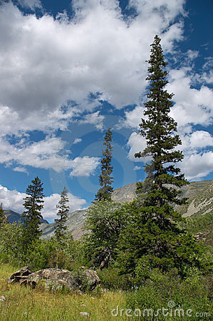Green firs and blue skies-01