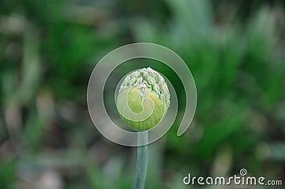 Green Flower Bud