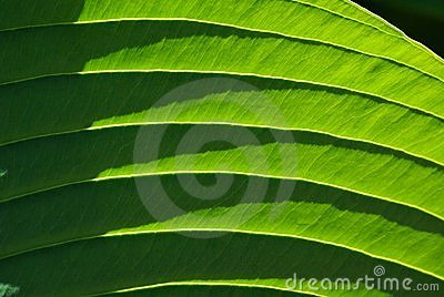 Green flower leaf, Elephantear