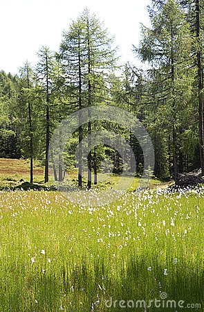 Free Green Flowering Meadow In Larch Tree Forest Royalty Free Stock Images - 76013409