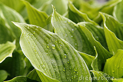 Green foliage Hosta, for background