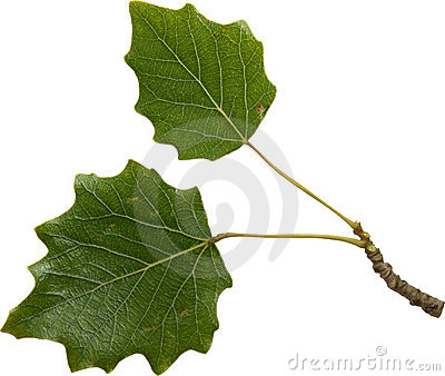 Green foliage of poplar