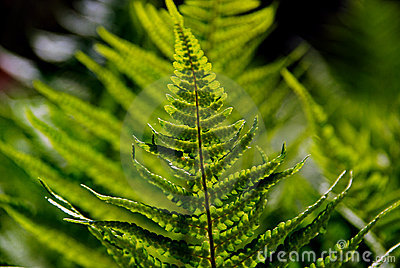 Green Forest Fern