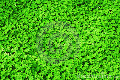 Green fresh clover field