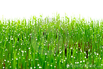 Green fresh grass with water drops