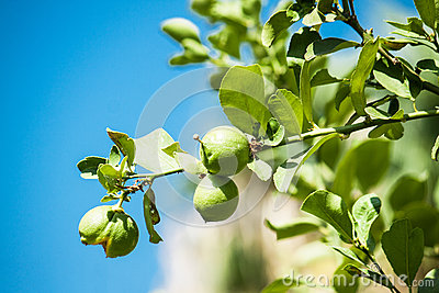 Green Fresh ripe lime on tree Stock Photo