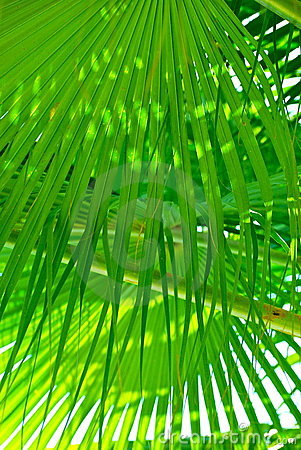 Green fringe palm leaves