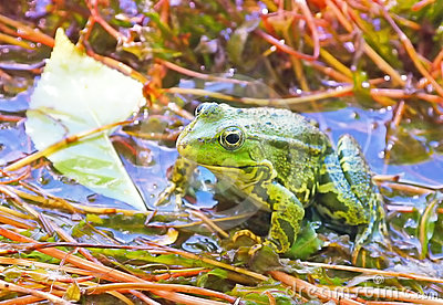 Green Frog in backwater