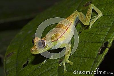 Green Frog, Ecuador