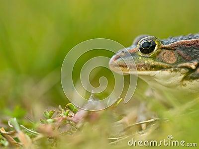 Green frog head
