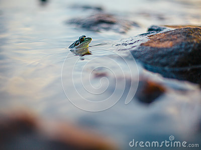 Green Frog With Its Head Sticking Up On Water Beside Rock In Selective Focus Photography Free Public Domain Cc0 Image
