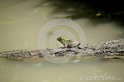 Green Frog on a Log