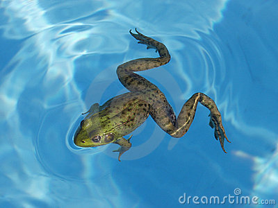Green Frog In A Pool Stock Photo Image 1166210