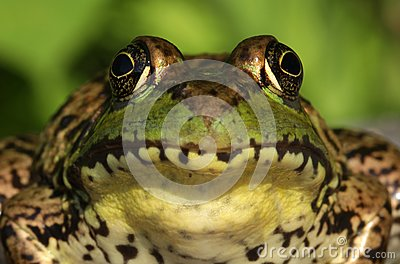 Green Frog (Rana clamitans) Close-up