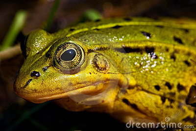 Green frog sitting in shallow water
