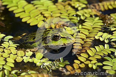 Green frog in swamp