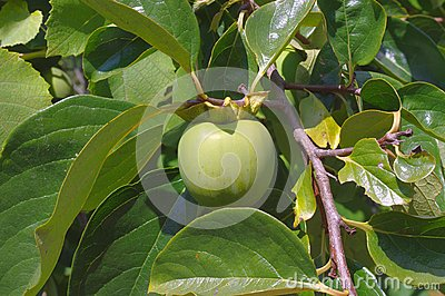 Green Fruit Of Persimmon On A Tree Royalty Free Stock ...