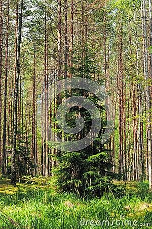 Green fur-tree in pine wood