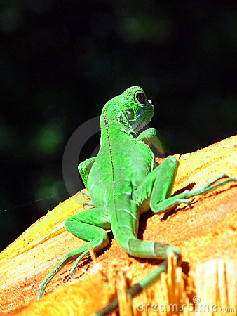 Free Green Gecko Royalty Free Stock Photography - 479767