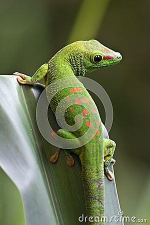 Free Green Gecko Royalty Free Stock Photo - 6976065
