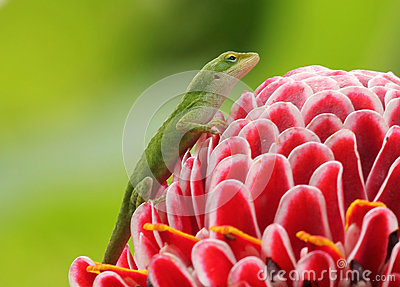 Green Gecko on a Flower