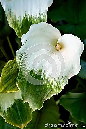 Free Green Goddess Calla Stock Images - 5035094