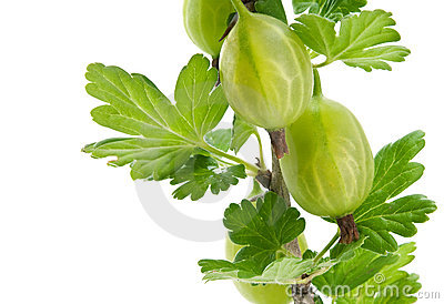 Green gooseberry branch