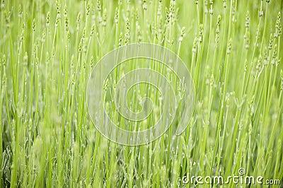 Green gräs
