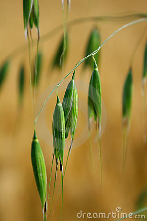 Free Green Grain Stock Image - 10015521
