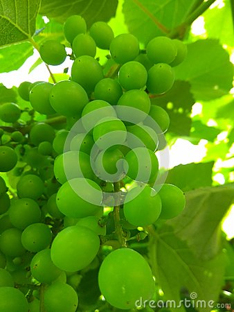 Green grape beans in early summer Stock Photo