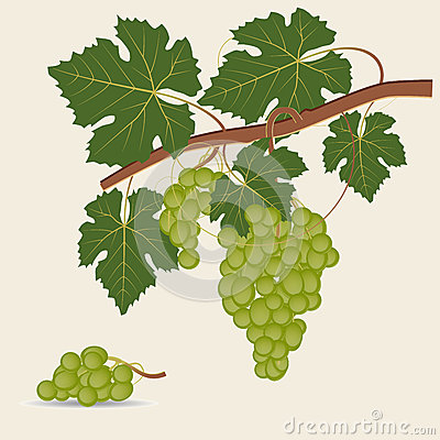 Green grape branch