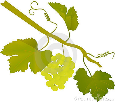 Green grape illustration