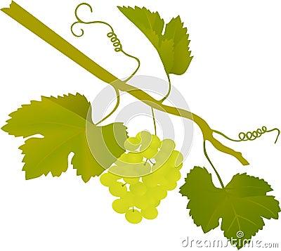 Green grape illustration