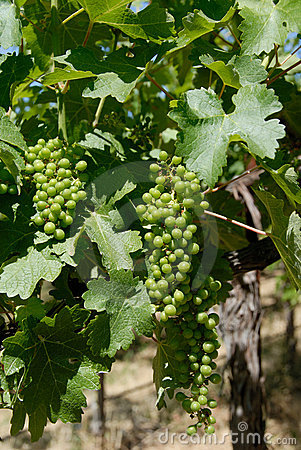 Free Green Grape Leaves And New Grapes Royalty Free Stock Images - 10185739