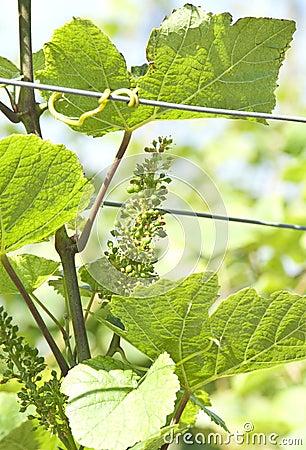 Green grape at vineyard