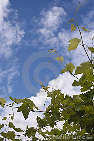 Green grapes and blue sky