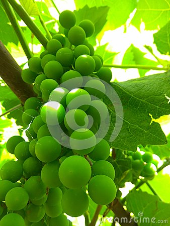 Green grapes early summer Stock Photo