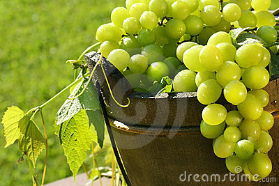Green grapes in the sun