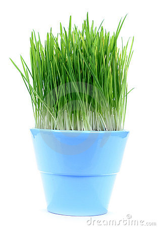 Green gras in a pot