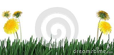 Green grass abd dandelions