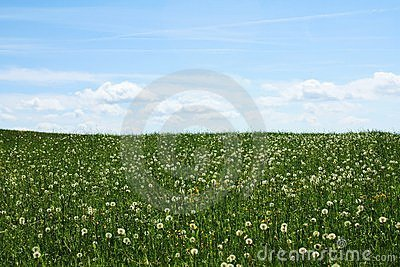 Green grass with blowballs  blue sky with clouds