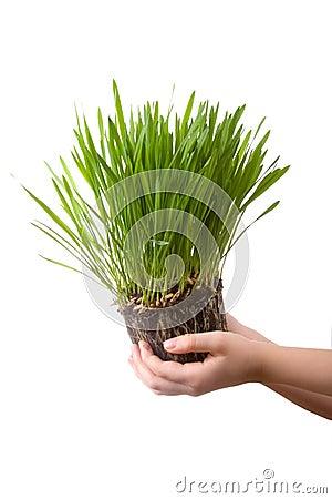 Green grass  in a children s hands